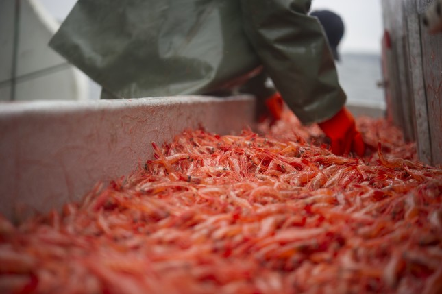 Lots of shrimp being packaged and iced
